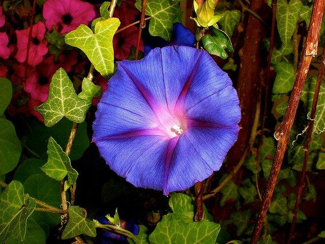 Purple Pageantry Winds  - Tawnyowl / Pixabay
